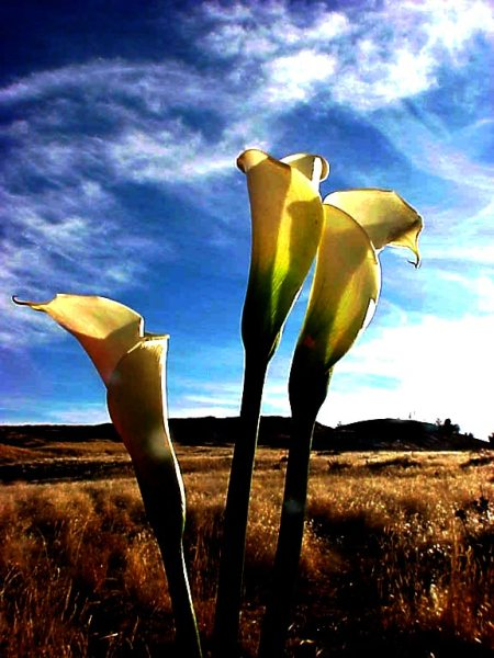 Lilies photo by KGT, Niwot, Colorado