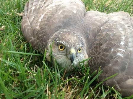 Sharp-shinned hawk, injured, poor guy!