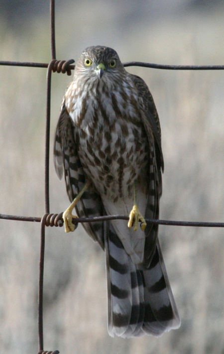 Sharp-shinned Hawk, photo by David Smith. 08
