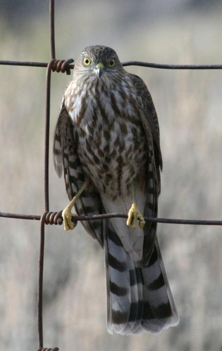 Sharp-shinned Hawk, photo by David Smith. 08