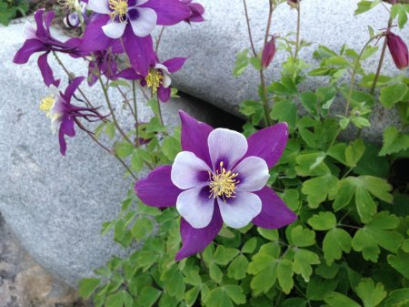 Native Columbine plants in our garden love the rocks